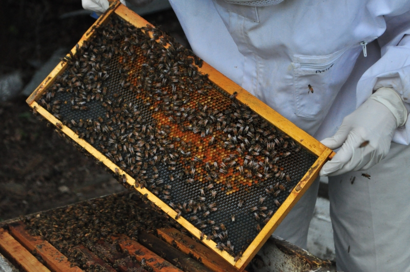 Combs of honey begin to form on the frame.